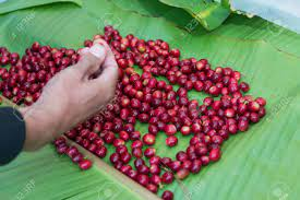 Hand Pick Selecting Coffee Cherry Bean Stock Photo, Picture And Royalty  Free Image. Image 36160633.