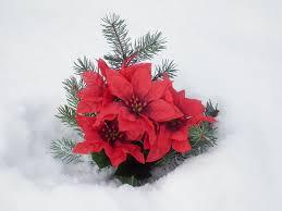 Filekünstlicher Weihnachtsstern Im Schneejpg Wikimedia