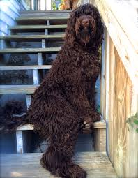 Small Picture Labradoodle Coloring Page coloring 4 Pinterest Woodburning