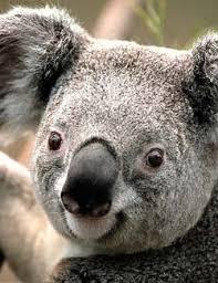 fun koala facts for kids interesting information about koalas koala facts