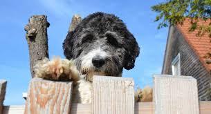 Aussiedoodle Size Chart Aussiedoodle The Australian Shepherd Poodle Mix Breed Dog