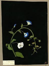 botanicals on black paper and mary delany