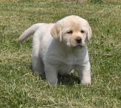 yellow lab puppies for sale. Contemporary Yellow Above Puppies Are From Our Girl Katie With Boy On Yellow Lab Puppies For Sale Y