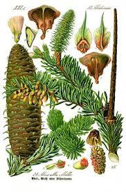 Flora italiana/Pinofite: Conifere