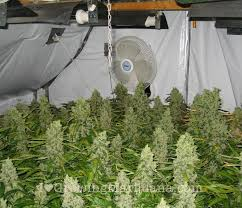 Basement Grow Room Design Extraordinary How To Build An Indoor Marijuana Grow Room