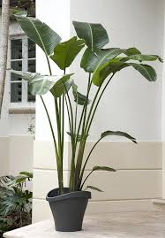 depiction of tall house plants for indoor the most recommended ones large safe pets