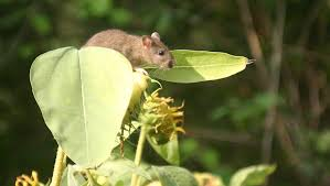 garden rat