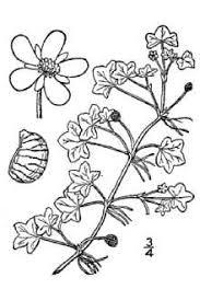 Plants Profile for Ranunculus hederaceus (ivy buttercup)