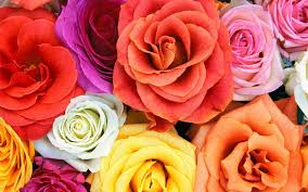 colorful rose wallpapers.  Wallpapers Wallpapers ID698179 Intended Colorful Rose L