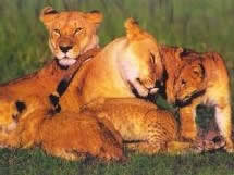 lioness and 4 cubs. Perfect Lioness Picture Of A Lioness And Cub Inside Lioness And 4 Cubs
