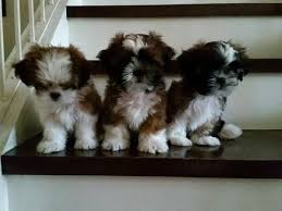 pure breed shih tzu puppies 0 1