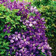 fanciful flowers names home decor h names home decor az nice flower garden pictures clematis center the depot plant and nursery near me jackmanii x jpg