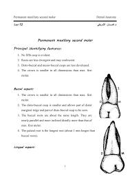 Maxillary Second Molar Permanent Maxillary Second Molar
