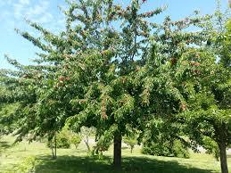 Ornamental Flowering Pear Trees U2013 Types Of NonFruit Bearing Pear Do All Pear Trees Bear Fruit
