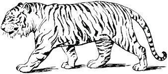 Tigre Coloring Pages Free Printable Tigers Neighborhood Tiger