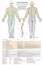 Dermatomal Pattern Beauteous Myotome Charts Peopledavidjoelco
