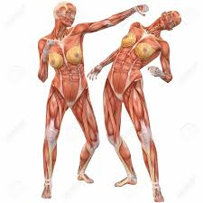 muscle anatomy suit anatomical body muscles women human anatomy    muscle anatomy suit anatomical body muscles women human anatomy diagram