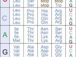 40 Paradigmatic Codon Chart Abbreviations