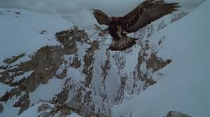 golden eagles flying. Fine Golden HD Rights Managed Stock Footage  292246711 Throughout Golden Eagles Flying