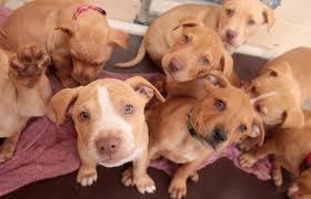 cute pitbull puppies for sale. Brilliant For Group Of Cute Brown Pitbull Puppies For Cute Pitbull Puppies Sale U