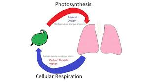 Photosynthesis And Cellular Respiration At The Atomic Level