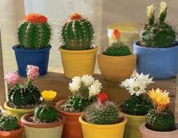 feng shui plant office. cactus flowers to feng shui home for wealth cacti with white yellow pink red good decorating plant office