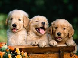 cute puppies for wallpapers puppy wallpaper on markinternational