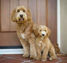 Small Picture 819 best Labradoodle images on Pinterest Australian labradoodle