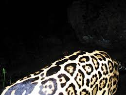 The Return of the Great American Jaguar | Science | Smithsonian