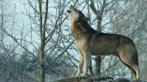wolf howling. Delighful Wolf Torak The Wolf Howling Mike Collins UK Wolf Conservation Trust Inside Howling W