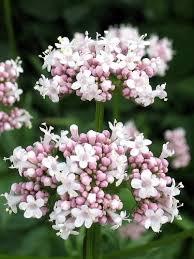 amazon 250 valerian garden heliotrope heal all valeriana officinalis herb flower seeds herb plants garden outdoor