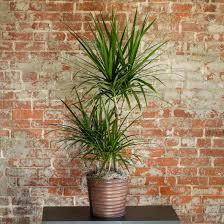 8 dracaena plant