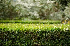 La siepe in giardino prima parte ama il tuo verdeama il tuo verde