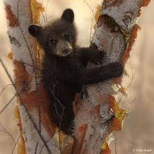 bear cub in tree wildlife painting art print