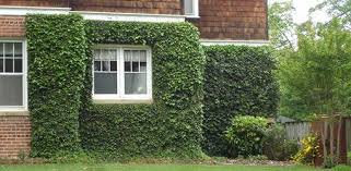 Older mortar in bricks can be damaged more easily by climbing vines like  ivy.