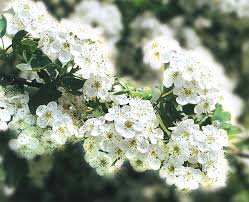 Znalezione obrazy dla zapytania obrazki lisc z kwiatem glogu