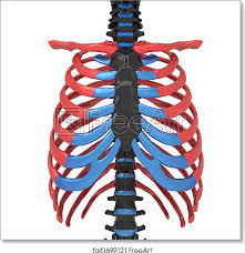 The rib cage, shaped in a mild cone shape and more flexible than most bone sets, is made up of varying elements such as the thoracic vertebra, 12 equally paired ribs, costal. Free Art Print Of 3d Illustration Of Human Body Ribs Cage Anatomy The Rib Cage Is An Arrangement Of Bones In The Thorax Of All Vertebrates Except The Lamprey And The Frog