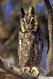 plucked owl. Fine Owl Adult Longeared Owl Ontario Canada February Throughout Plucked Owl E