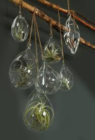 a grouping of hanging terrariums with air plants