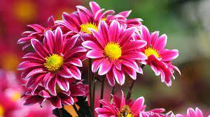 Beautiful Flowers Wallpapers Free ...