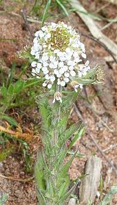 Lepidium heterophyllum - Wikipedia