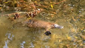 Platypus Wikipedia