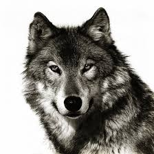 gray wolf face drawing. Plain Drawing Wolf Sketch Tattoo  Google Search Intended Gray Wolf Face Drawing H