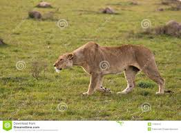 lioness hunting. Wonderful Lioness Lioness Hunting Inside Hunting I