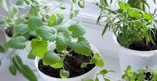 herbal tea from your windowsill