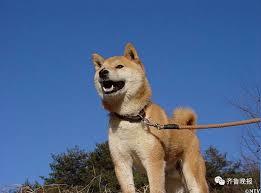 doge shiba. Perfect Shiba CCTV On Twitter  Inside Doge Shiba T