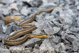 garter snake on the rocks looking at you