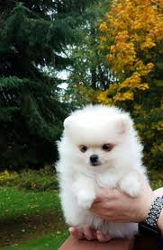 adorable male and female teacup pomeranian puppies for new homes