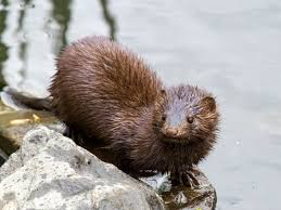 Rodents Lower Classifications American Mink Wikipedia