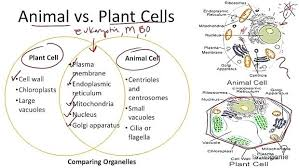 Comparing Animal And Plant Cells Venn Diagram Venn Diagram Between Plant And Animal Cells Michaelhannan Co